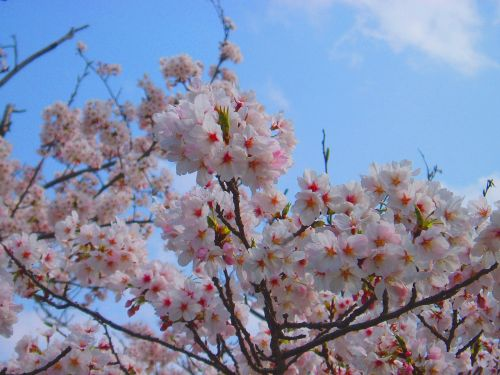 cherry cherry blossoms spring