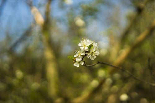 vyšnia,vyšnių žiedas,žiedas,žydėti,baltas žiedas,gėlės,žalias,pavasaris,dygsta,lapai,gamta,augalas,makro,Uždaryti,filialas,medis,jauni lapai,sluoksnis,pirmasis variklis,jaunas,frisch