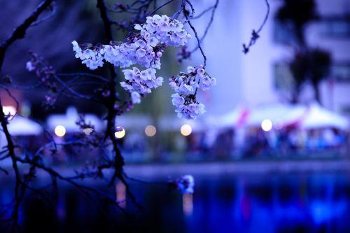 cherry cherry blossoms sakura