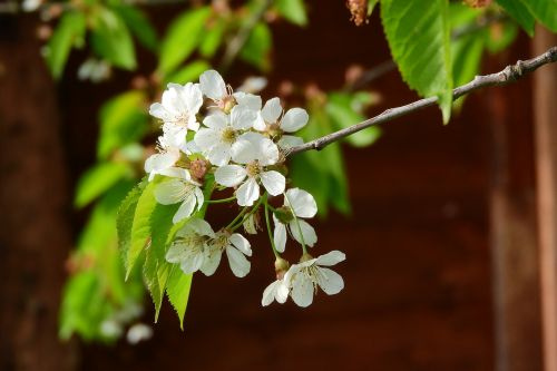cherry cherry blossoms cherry blossom
