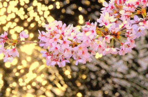 cherry japan flowers