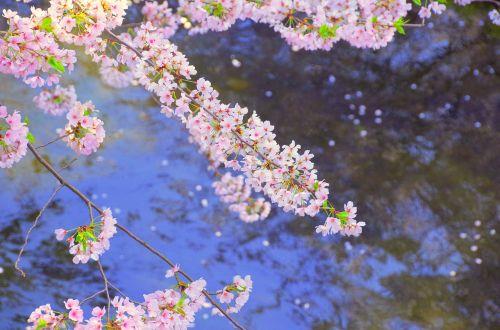cherry japan river