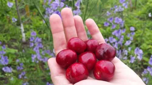 cherry berry spring