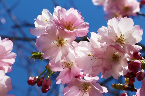 cherry prunus cherry blossom