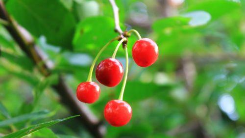 cherry greens summer