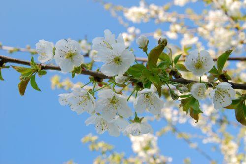 vyšnia,žiedas,žydėti,vyšnių žiedas,pavasaris,balta,baltas žiedas,vaismedis,žydėti