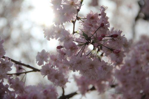 vyšnia, gėlė, medis, filialas, sezonas, gamta, flora, žydi, parkas, be honoraro mokesčio