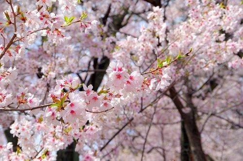 cherry  flowers  wood