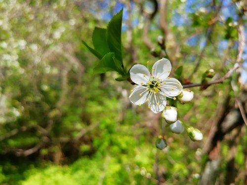 cherry  flowers  garden