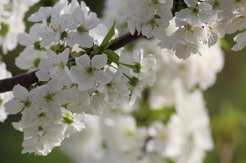 cherry  flowers  tree
