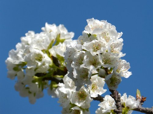 cherry  flowering tree  flowers