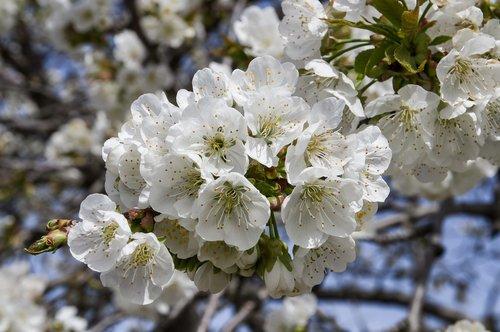 cherry  flowers  fulfillment