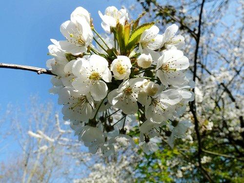 cherry  prunus  prunus avium