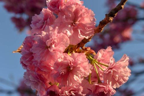 cherry  cherry blossom  cherry flowers