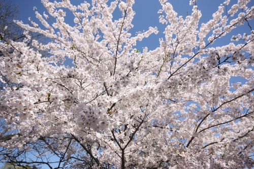 cherry blossom hide park