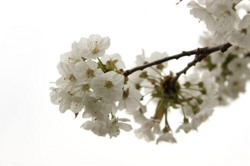 vyšnia,žiedas,žydėti,pavasaris,žydėti,medis,vyšnių žiedas,žiedas,augalas