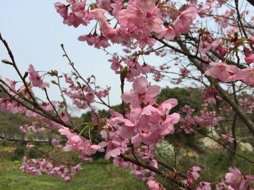 vyšnia,saulės šviesos sakura,pavasaris,pavasario gėlės,vyšnių žiedų,pavasaris Japonijoje,ankstyvas pavasaris,gėlės,natūralus