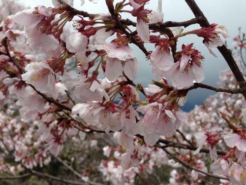 cherry takato co higanzakura