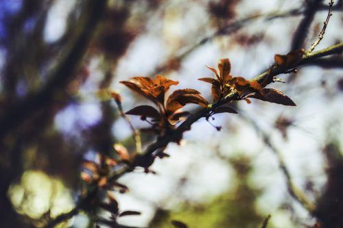 cherry leaves leaf