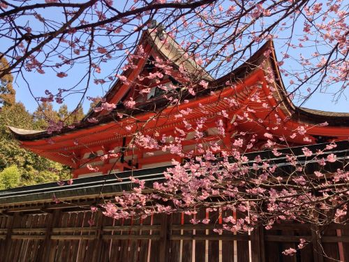 cherry spring spring in japan