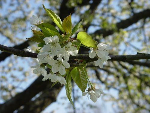 cherry blossom spring flowering trees