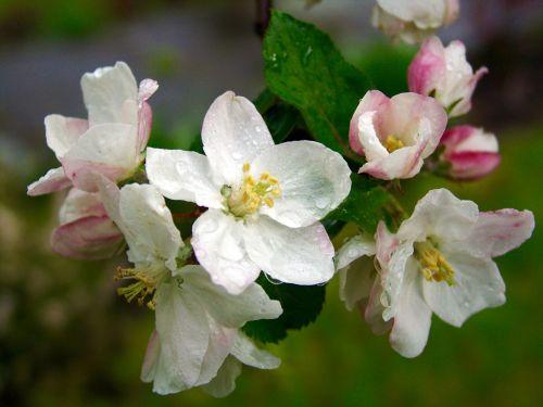 vyšnių žiedas,pavasaris,žiedas,žydėti,žydintys medžiai,žydėti,krūmas,žiedas,sodas,baltas žiedas,vyšnia