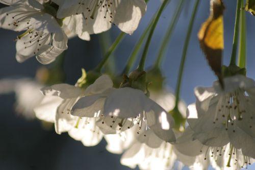 cherry-blossom light spring