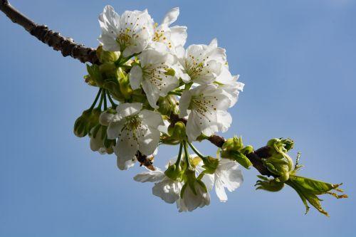 vyšnių žiedas,balta,žiedas,žydėti,baltas žiedas,pavasaris
