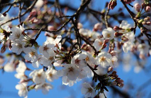 cherry blossom flowers spring