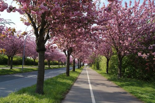 cherry blossom cherry tree