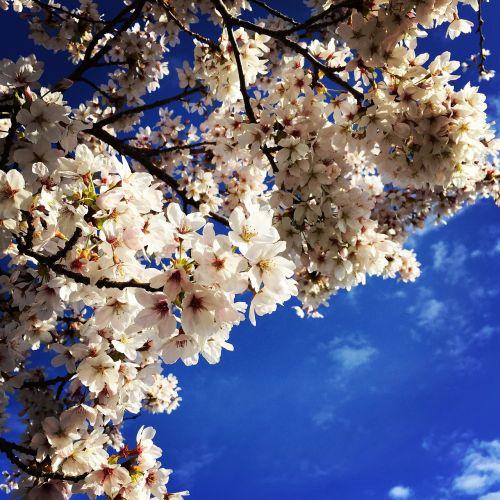 cherry blossom spring freshness