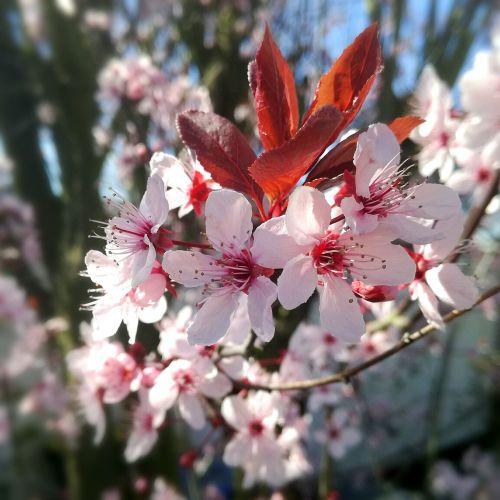 cherry blossom cherry cherry sheet
