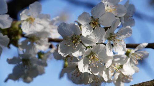 cherry blossom spring white