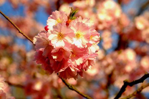 vyšnių žiedas,pavasaris,rožinis,žiedas,žydėti,balta,žiedas,Rheinland,krūmas,žydėti,vyšnia,gamta,vyšnių medžiai,žydintys medžiai,filialas,Uždaryti,medžiai,baltas žiedas,vaismedis,gražus,žiedynas,augalas