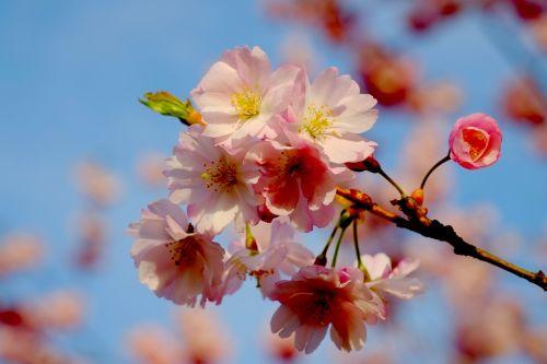 vyšnių žiedas,pavasaris,rožinis,žiedas,žydėti,balta,žiedas,Rheinland,krūmas,žydėti,vyšnia,gamta,vyšnių medžiai,žydintys medžiai,filialas,Uždaryti,medžiai,baltas žiedas,vaismedis,gražus,žiedynas