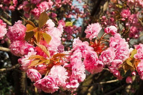 cherry blossom tree spring