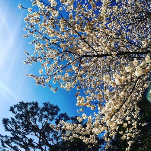 cherry blossom sky pine