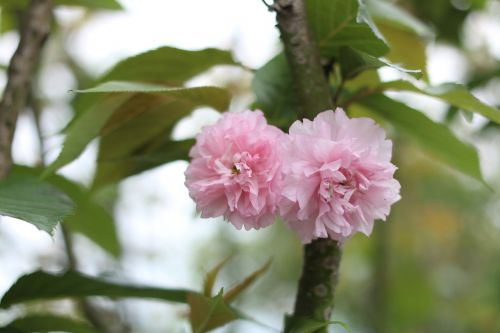 cherry blossom association spring gardening pond river tileable culture expo park