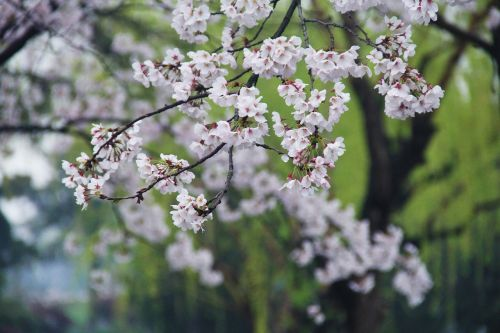 cherry blossom green xuanwu lake