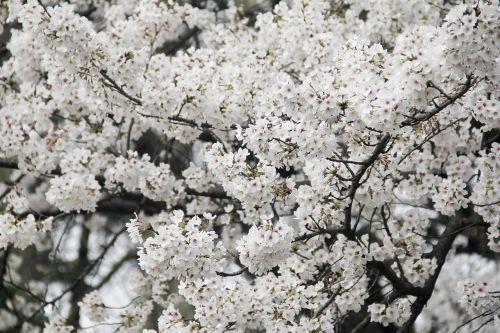 cherry blossom xuanwu lake brilliant