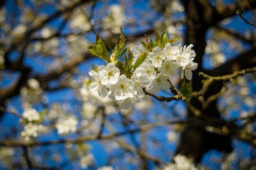 cherry blossom branch blossom