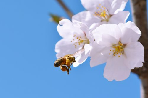 cherry blossom sakura spring flowers