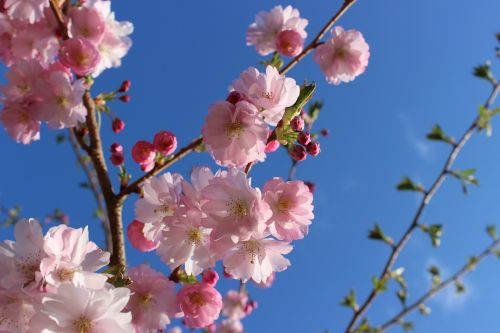 cherry blossom cherry blossoms japanese cherry trees