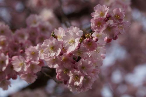 vyšnių žiedas,žiedas,žydėti,pavasaris,žiedas,Uždaryti,rožinis,švelnus,ornamentinis vyšnia,žydėjimo šakelė,blütenmeer,gėlės,žydėti,pavasario karščiavimas,pavasaris