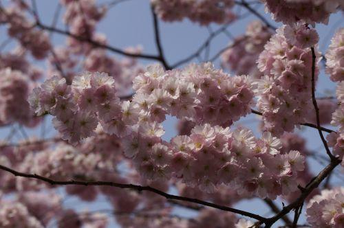 vyšnių žiedas,žiedas,žydėti,pavasaris,žiedas,Uždaryti,rožinis,švelnus,ornamentinis vyšnia,gėlės,žydėjimo šakelė,blütenmeer,žydėti,medis,pavasario pabudimas,žiedynas,dangus,mėlynas