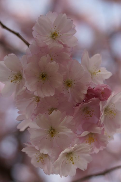 vyšnių žiedas,žiedas,žydėti,pavasaris,žiedas,Uždaryti,rožinis,švelnus,ornamentinis vyšnia,gėlės,žydėjimo šakelė,blütenmeer,žydėti,medis,pavasario pabudimas,žiedynas,romantiškas,romantika,grožis,saldus