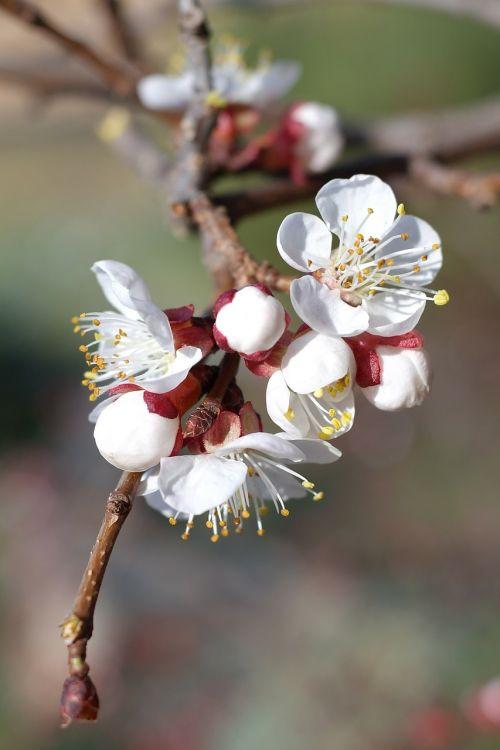 vyšnių žiedas,vyšnia,medis,žiedas,žydėti,baltas žiedas,balta,pavasaris,gamta,sodas,gėlės