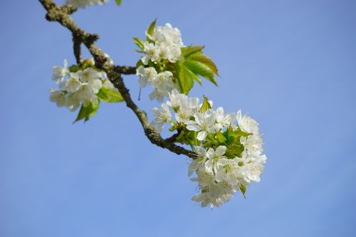 cherry blossom branch white