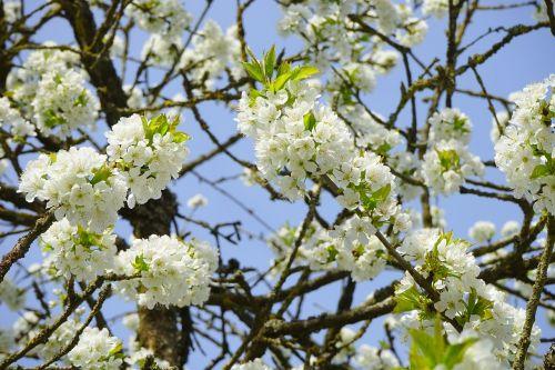 cherry blossom branches white