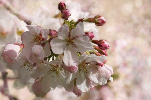 cherry blossom flower plant